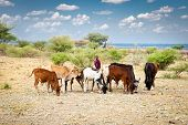 TANZANIA, AFRICA-FEBRUARY 9, 2014: Young Masai herders  herd and protect their cattle in savannah wi