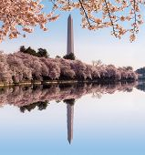 Washington Monument Towers Above Blossoms