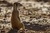 Suricate Sentry Standing In The Early Morning Sun Back Lit Looking Possible Danger