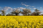 Blooming Canola Fields And Apple Trees