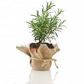 Rosemary herb growing in brown terracotta pot isolated on white background