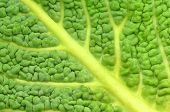 closeup of italian cabbage leaf