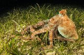 Whitespotted Octopus hunting on seagrass
