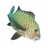 Live Harlequin Sweetlips fish isolated on white background