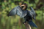 Long-tailed Cormorant On A Perch Drying Its Wings