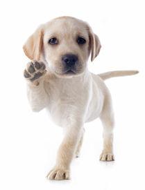 picture of little puppy  - purebred puppy labrador retriever in a studio - JPG