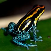 Poison Dart Frog Sitting On A Leaf