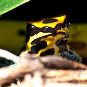 pic of orange poison frog  - Portrait of a Poison Dart Frog hiding behind some branches - JPG