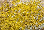 Yellow Lichens On Stone Closeup