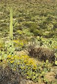 Spring In Saguaro National Park