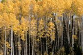 Aspen trees with yellow fall leaves