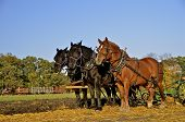 Team of horses plowing