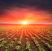 young sunflower spouts on field against sunset background