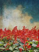 Red Salvia Flower With Grunge Background