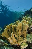 fire coral