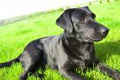 Black Labrador Conceptual Image.