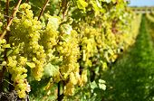 Grapes in Lavaux, Switzerland