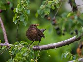 Common Blackbird f