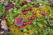 Cranberry Growing In The Swamp