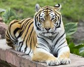 stock photo of tigers-eye  - A Asian tiger making eye contact while relaxing - JPG