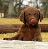 Chesapeake Bay Retriever puppy in Park