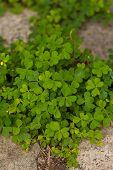 Bear Clover Leaf Green