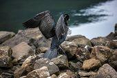 Great Cormorant In Seydisfjordur6