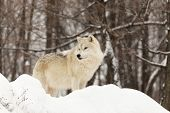 foto of horrific  - A lone Arctic wolf in a forest and winter environment - JPG