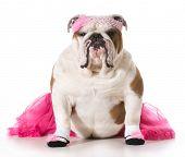 english bulldog wearing ballerina costume isolated on white background