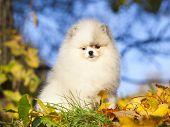dwarf spitz white