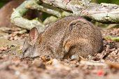 stock photo of wallabies  - Sleeping parma wallaby in a dutch zoo - JPG