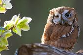 stock photo of screech-owl  - Eastern screech owls are found in two color  - JPG