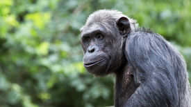 stock photo of chimp  - closeup portrait of a smiling chimpanzee with room for text - JPG