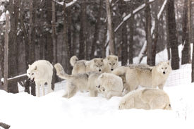 stock photo of horrific  - A pack of Arctic Wolves playing in a winter scene - JPG