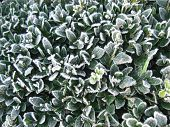 Frozen Buxus Leaves