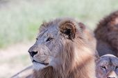 Lions Wildlife