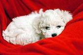 picture of bichon frise dog  - cute small bichon frise puppy posing indoors notice shallow depth of field - JPG