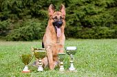 stock photo of german shepherd dogs  - german sheepdog with cups sitting on the grass - JPG