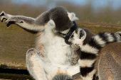 Lemur, mother and baby