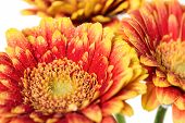 Background Of Flowers Gerbera With Dew Drops