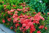 picture of plant species  - Red Ixora coccinea hedge is a species of flowering plant in the Rubiaceae family - JPG
