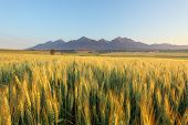 Wheat Field With Path Under Tatras