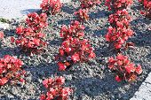 foto of begonias  - Red flowers tuberous begonias on the flowerbed in the garden - JPG