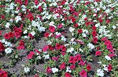Backgrounds Of Flowers Red And White Petunias