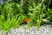 image of molly  - Red Wag Swordtail and Cremecicle Lyretail Molly swimming in planted fish tank - JPG