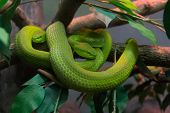 pic of tree snake  - Close up of snake on a tree branch - JPG