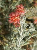 Grevillea brachystachya bloom