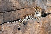Leopard auf einem Felsen beobachten