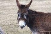 Donkey-Brown