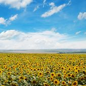 Field Of Sunflowers And Blue Sky